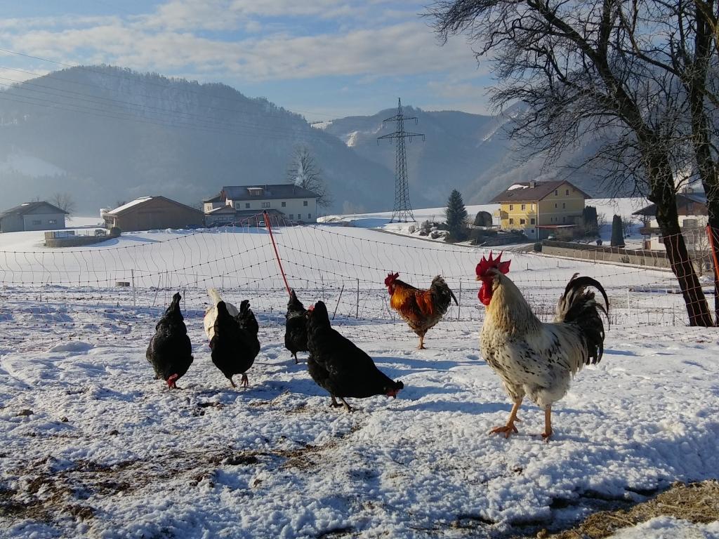 Hühner am Biohof Kleinortbauer